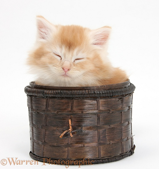 Maine Coon kitten, 7 weeks old, asleep in a basket, white background