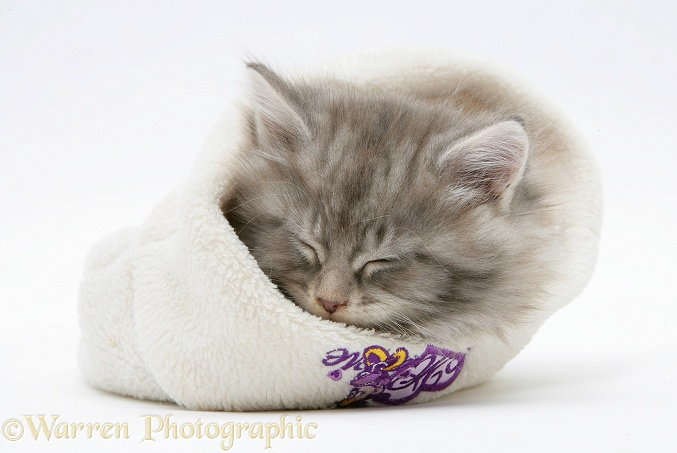 Maine Coon kitten asleep a woolly hat, white background