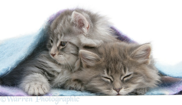 Sleepy Maine Coon kittens under a blanket, white background