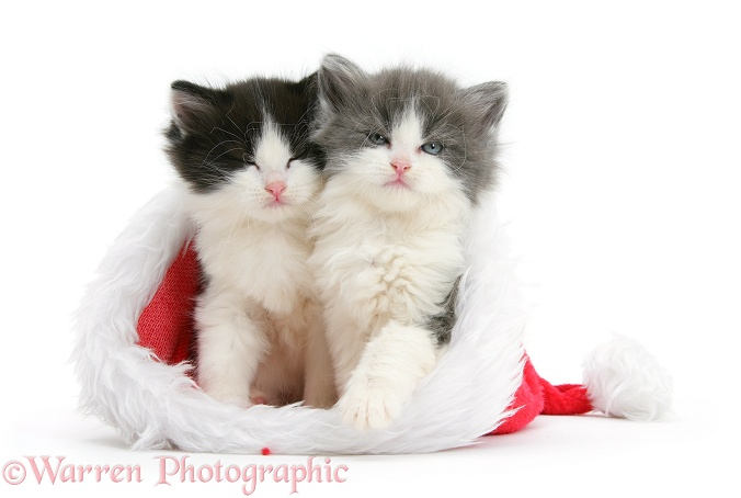 Sleepy black-and-white and grey-and-white kittens in a Father Christmas hat, white background