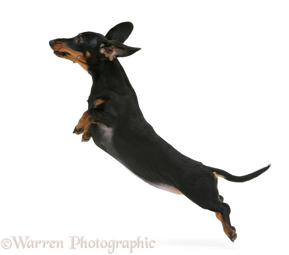 Miniature Dachshund leaping, white background