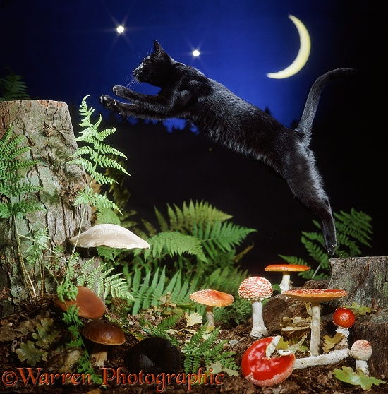 Black cat leaping from tree stump to tree stump at night