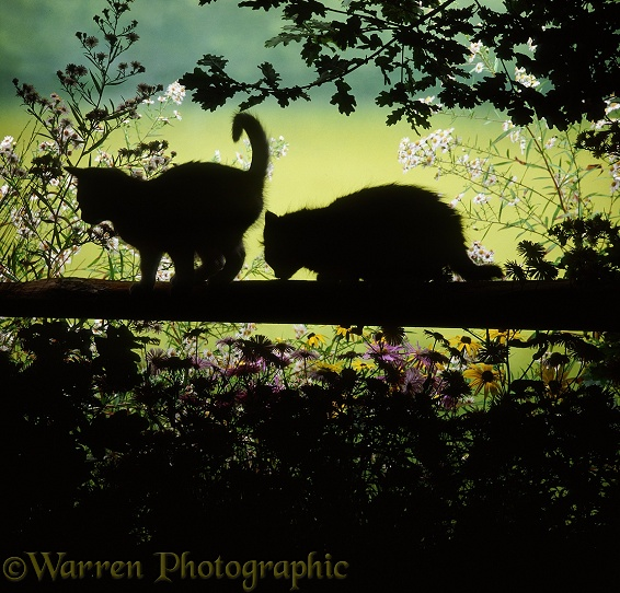 Kittens on a fence in silhouette