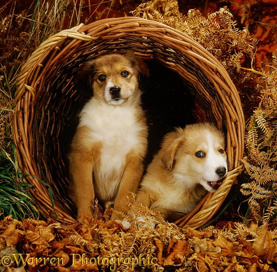 Two sable Irish Border Collie pups, 9 weeks old, in a wicker basket