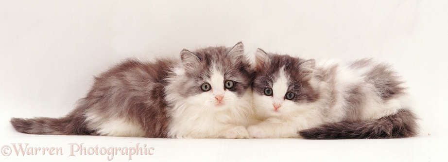 Two fluffy silver-and-white kittens, 9 weeks old, white background