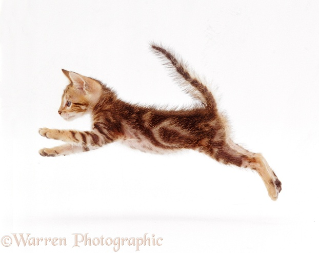 Bengal-cross kitten, 6 weeks old, leaping, white background