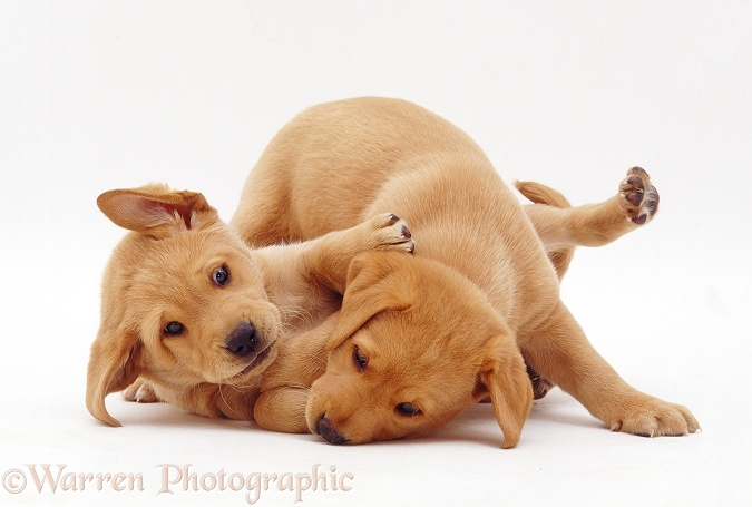Two Yellow Labrador Retriever pups, 6 weeks old, play-fighting, white background