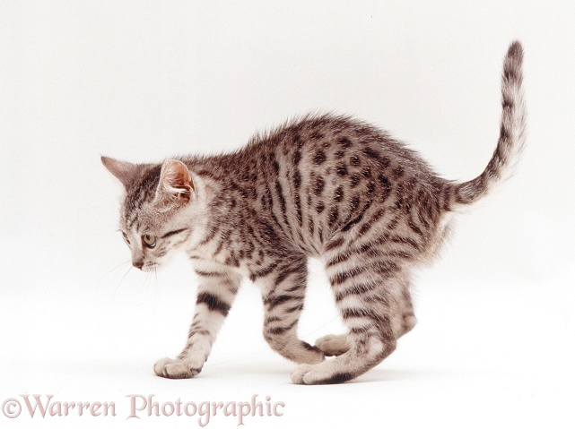 Bengal-cross kitten, 8 weeks old, looking menacing