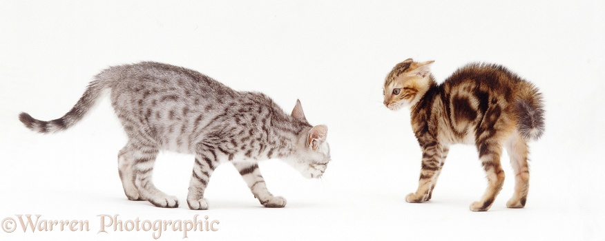 Bengal-cross kitten, Zeppelin, 8 weeks old, menacing a sibling, white background