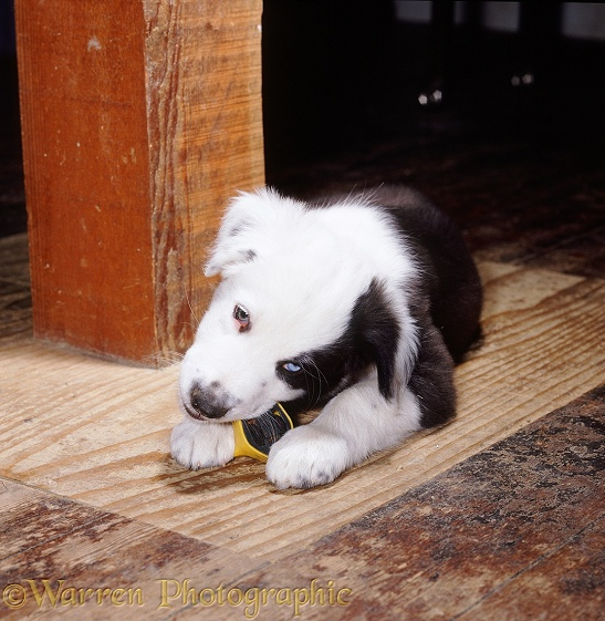 Black-and-white Border Collie pup, Patch, 6 weeks old, chewing a toy