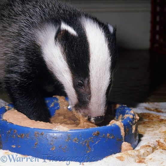 Rescue Badger (Meles meles) cub, 9 weeks old, eating from a plastic bowl