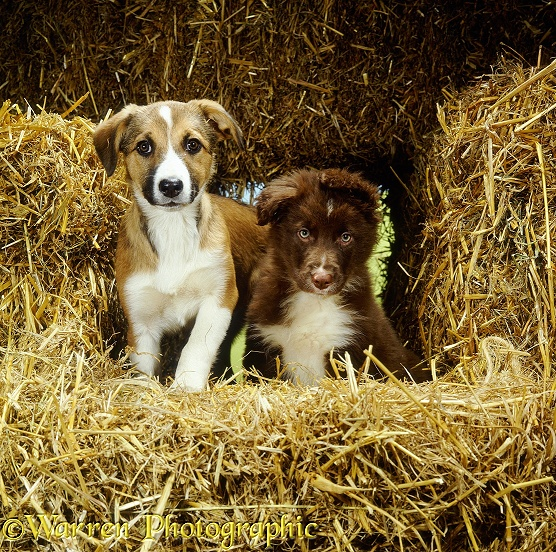 Liver-and-white long-coated Border Collie pup and Sable-and-white short-coated Border Collie pup among straw bales
