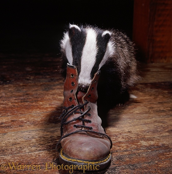Bodger the Badger, 3 months old, investigating a Dr Marten boot