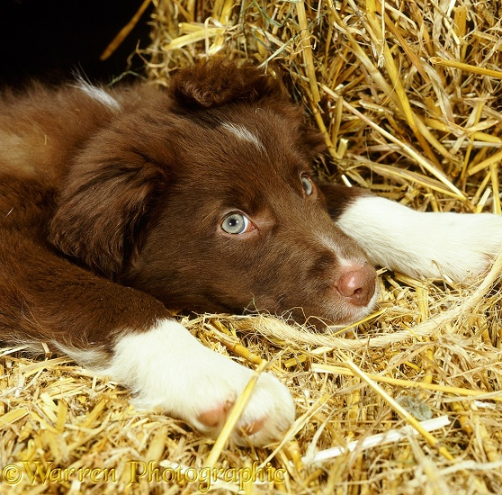 Liver-and-white Border Collie dog puppy resting on some straw