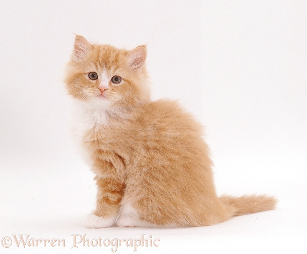 Fluffy ginger-and-white female Persian-cross kitten, 8 weeks old, white background