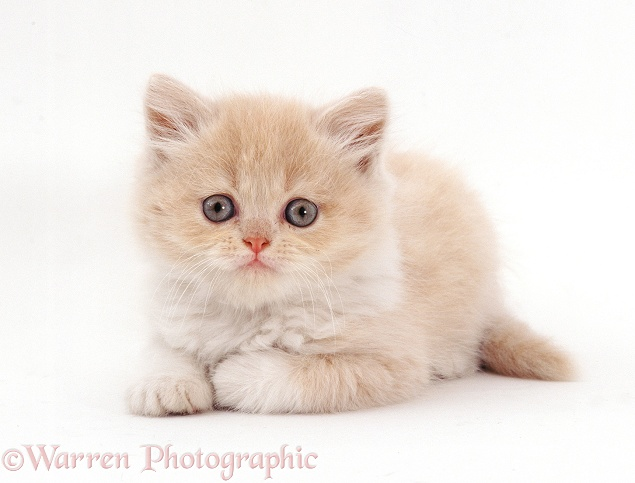 Cream Longhair � Persian male kitten (Cobweb x Peony), 7 weeks old, white background