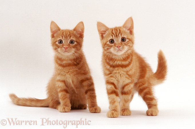 British Shorthair Red Tabby Highlander kittens, 11 weeks old, white background