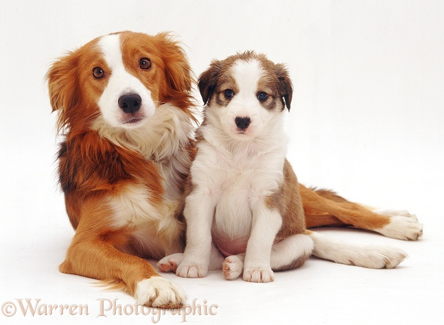 Border Collie bitch, Lollipop, and pup, 5 weeks old, white background