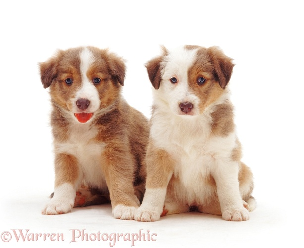 Border Collie pups, 5 weeks old, white background