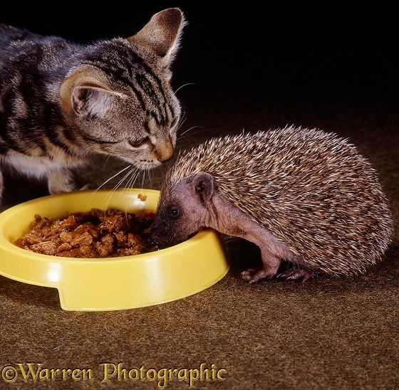 Tabby kitten and young Hedgehog (Erinaceus europaeus), both 8 weeks old, sharing a bowl of cat food; the kitten sniffs the hedgehog's spines