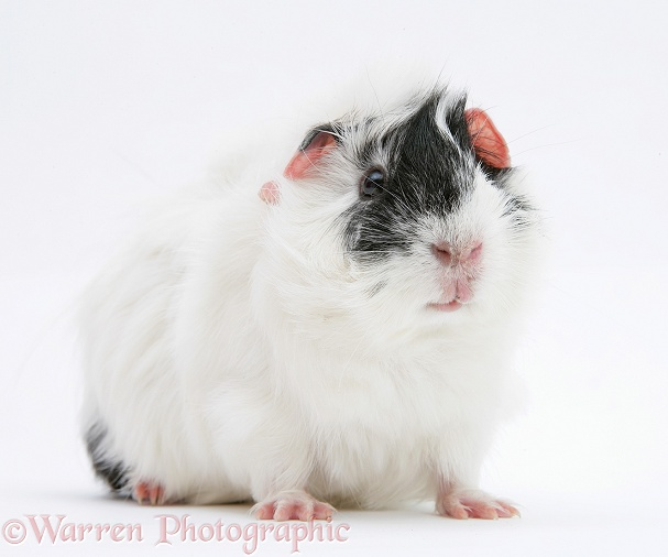 Black-and-white guinea pig, Papua, white background
