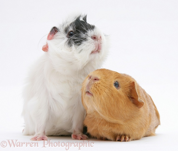 Black-and-white guinea pig, Papua, with red guinea pig, Rufi, white background