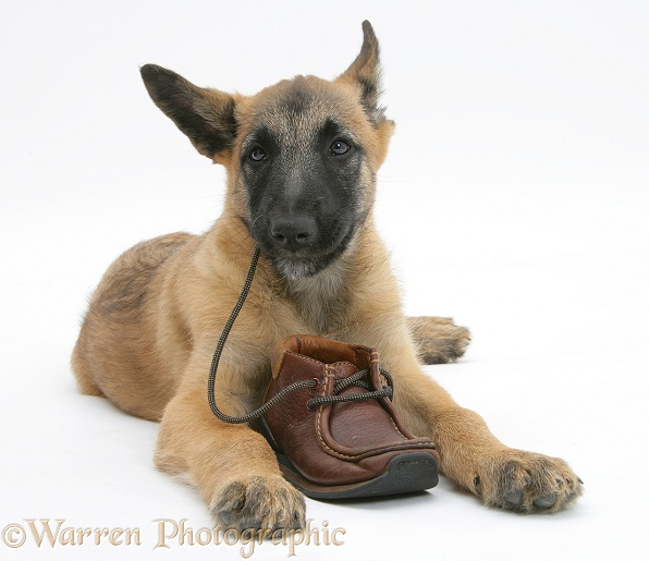 Belgian Shepherd Dog pup, Antar, 10 weeks old, chewing a child's shoe, white background