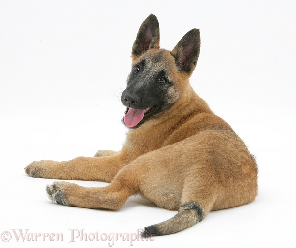 Belgian Shepherd Dog pup, Antar, 10 weeks old, white background