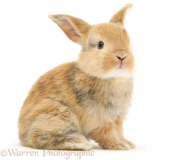 Baby sandy Lop rabbit, white background