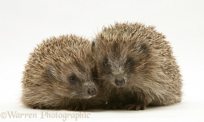 Pair of young Hedgehogs (Erinaceus europaeus), white background