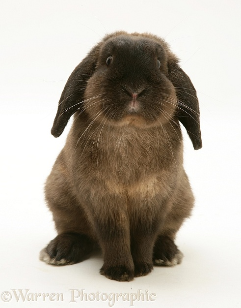 Chocolate Lop rabbit sitting up, white background