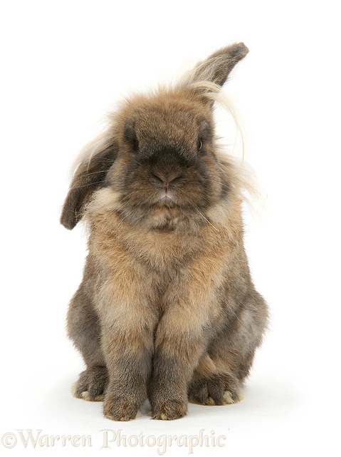 Lionhead rabbit sitting up, white background