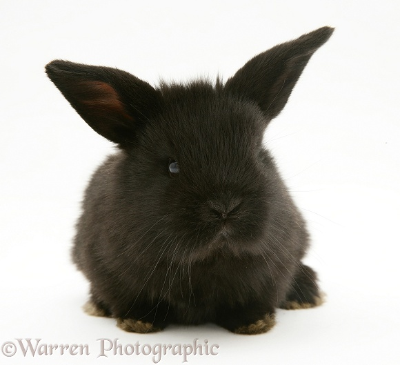 Baby black Lop rabbit, white background
