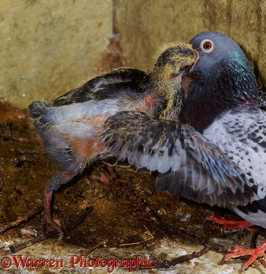 Street Pigeon (Columba livia) blue checkers hen feeding a squab in the nest.  Worldwide