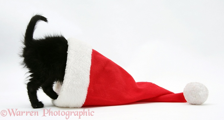 Black kitten head-first in a Father Christmas hat, white background