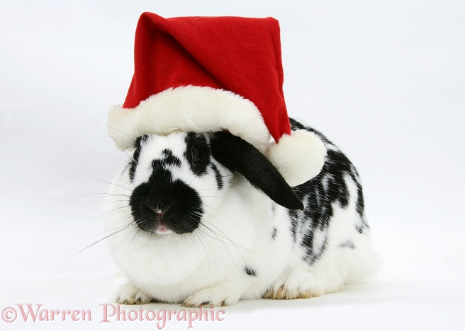 Black-and-white spotted rabbit wearing a Father Christmas hat, white background