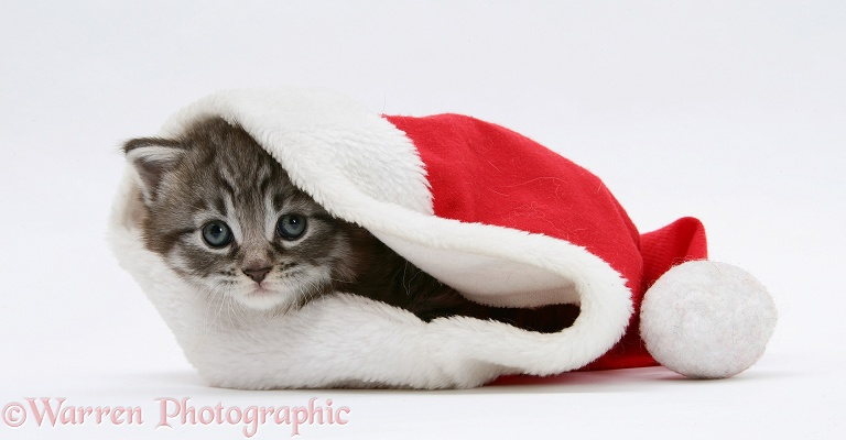 Maine Coon Kitten, Goliath, in a Father Christmas hat, white background