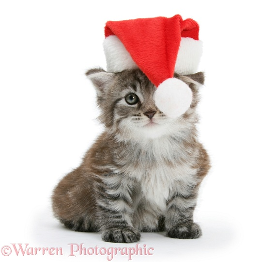 Pets At Christmas Pictures Of Maine Coon Kitten Wp19941