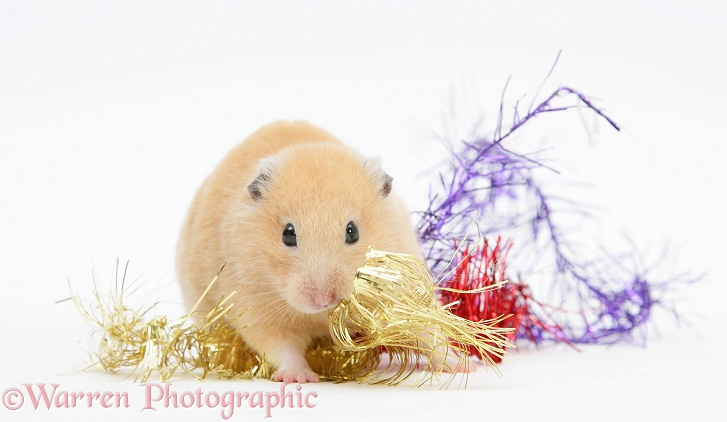Golden Hamsters with Christmas decorations, white background