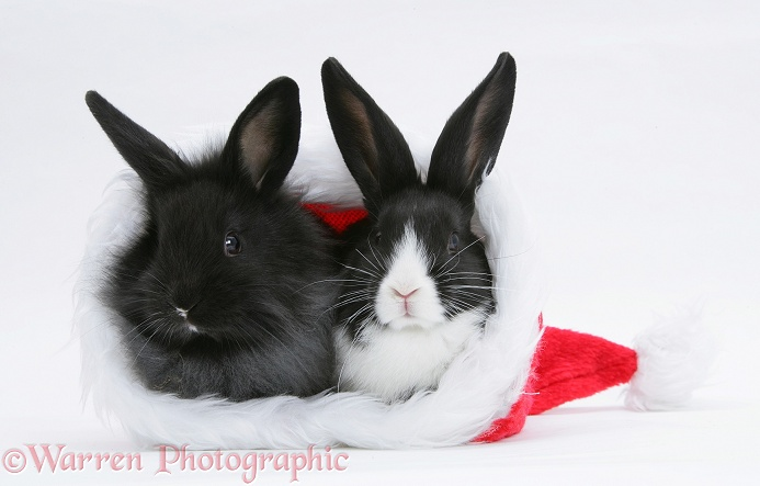 Baby Dutch x Lionhead rabbits in a Father Christmas hat, white background