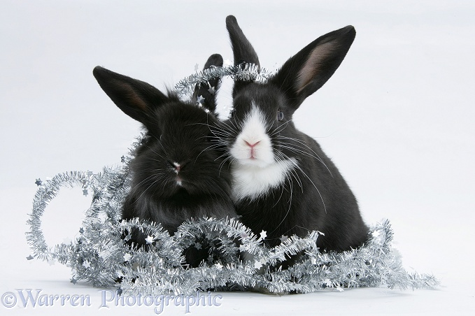 Black-and-white baby Dutch x Lionhead rabbits with silver tinsel, white background