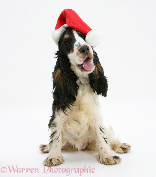 Tricolour English Cocker Spaniel, 7 months old, wearing a Father Christmas hat, white background