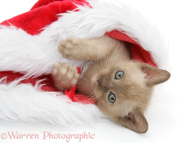 Burmese kitten in a Father Christmas hat, white background