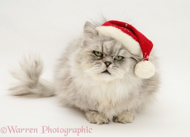 Silver tabby chinchilla Persian male cat Cosmos, wearing a Father Christmas hat, white background
