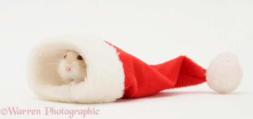 Dwarf Russian Hamster (Phodopus sungorus) in a Father Christmas hat, white background