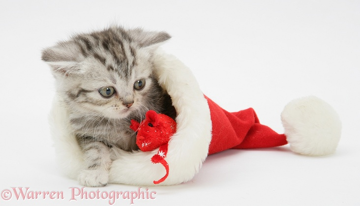 Silver Tabby kitten in a Father Christmas hat, with catnip mouse, white background