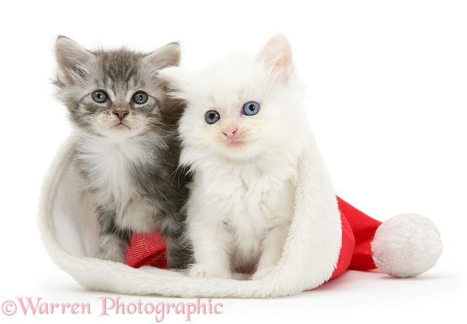 White kitten and tabby kitten in a Father Christmas hat, white background