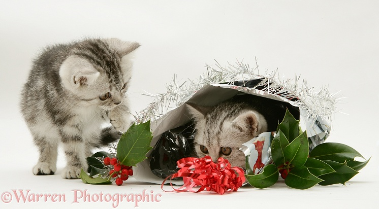 Silver tabby kittens with holly and Christmas parcel, white background
