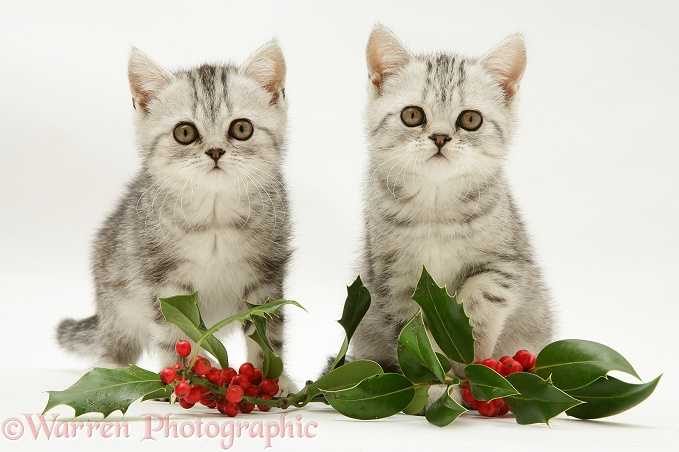 Silver tabby kittens with holly leaves and berries, white background