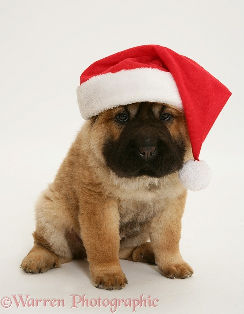 Bear coat Shar Pei pup, Ruffles, 11 weeks old, wearing a Father Christmas hat, white background